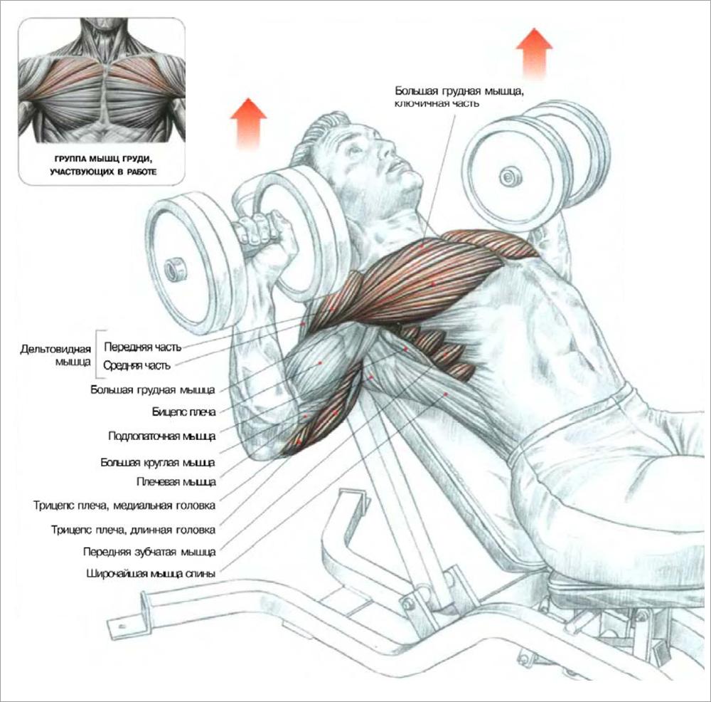Какие мышцы можно тренировать в день жима лежа